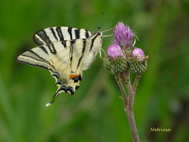 beau papillon P1080210