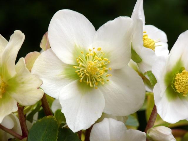 Helleborus niger ou Rose de noel ou Hellebore - Page 5 P1090111