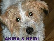 Mein Herzenshund ein Border Terrier P1150112