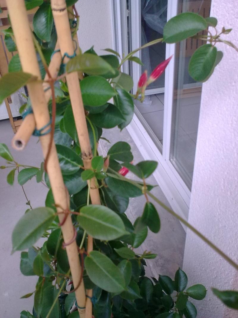 Dipladénia sans fleurs 14072011