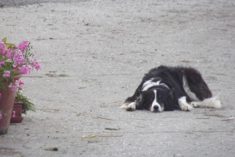border collie Photos10