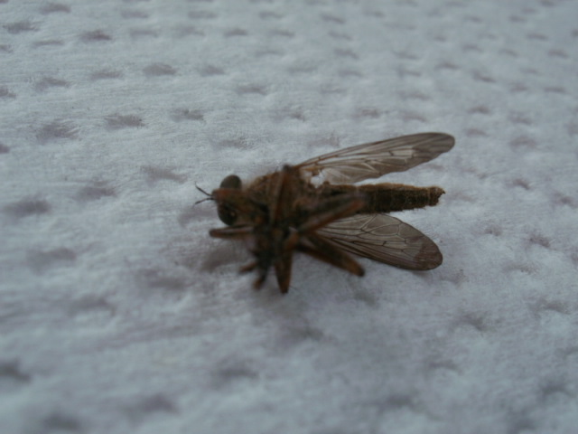 [Asilidae] Enorme moustique Mousti14