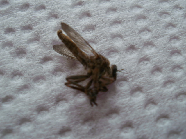 [Asilidae] Enorme moustique Mousti15