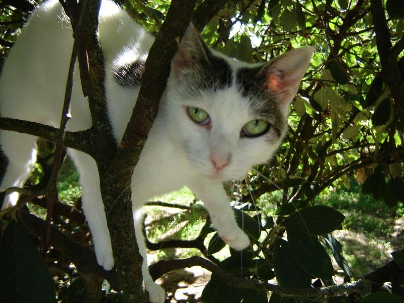 Alba, jolie chatte blanche avec des tâches tigrées (17) Alba_710