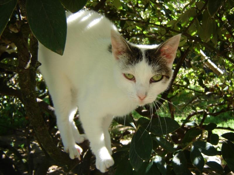 Alba, jolie chatte blanche avec des tâches tigrées (17) Alba_711