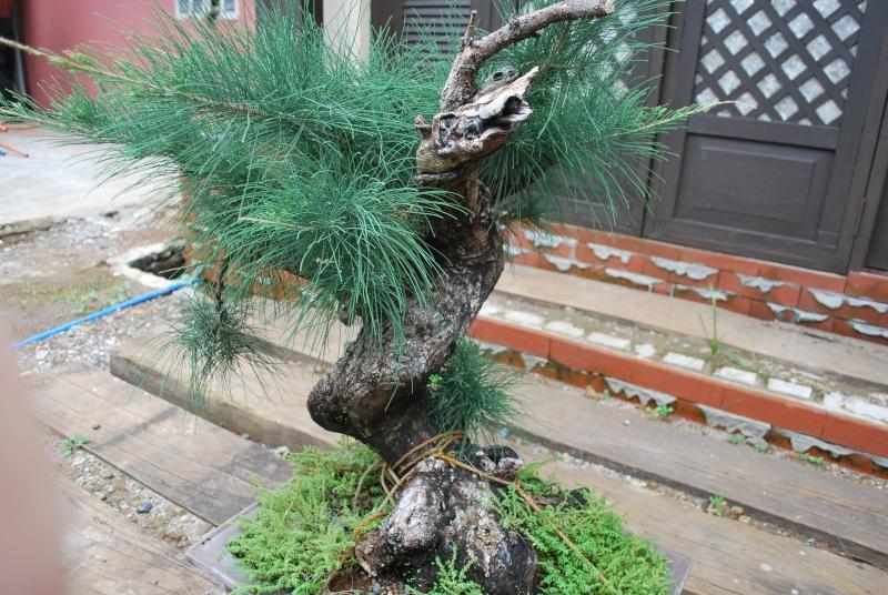 Aussy Pine Update Dsc_0151
