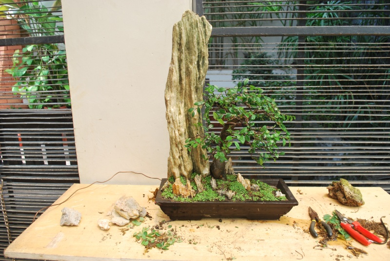"""S"" styled chinese elm used for penjing Dsc_0513"