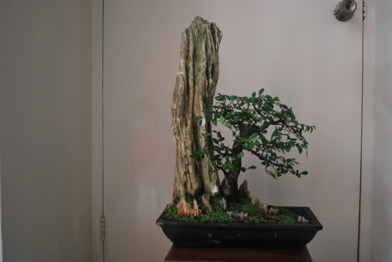 """S"" styled chinese elm used for penjing Dsc_0515"