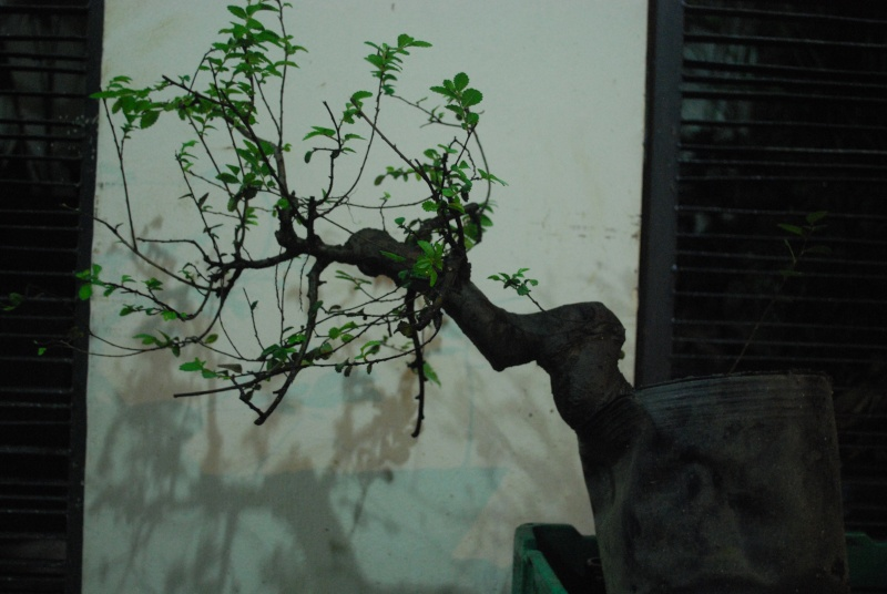 """S"" styled chinese elm used for penjing Dsc_0517"