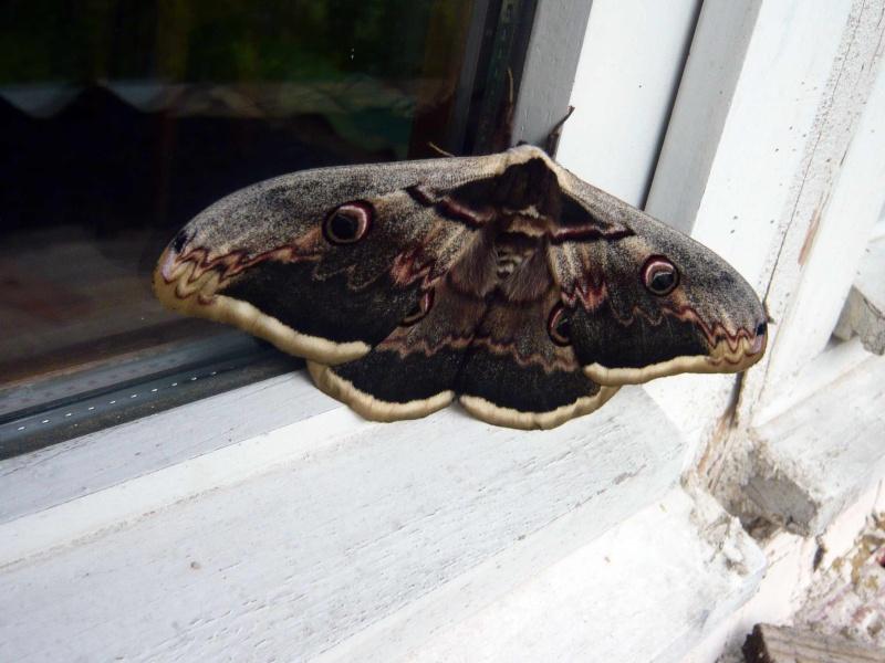 [Saturnia pyri]Gros papillon de nuit au nord de la drôme Papill11