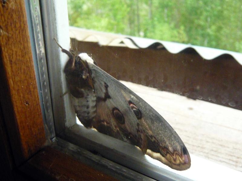 [Saturnia pyri]Gros papillon de nuit au nord de la drôme Papill12