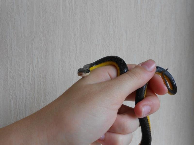 Liophis poecilogyrus ( serpent ) Harsia10