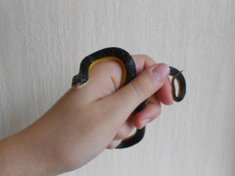Liophis poecilogyrus ( serpent ) Harsia11