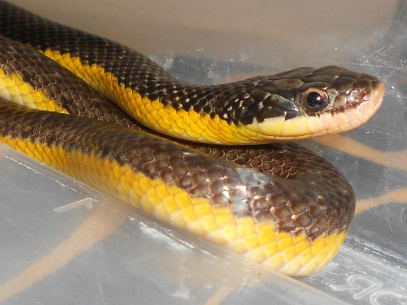 Liophis poecilogyrus ( serpent ) Lio_ma10