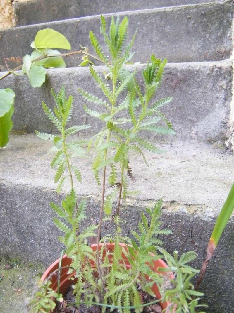 Faucaria tuberculosa, Crassula multicava  [identifications] 11_jan10