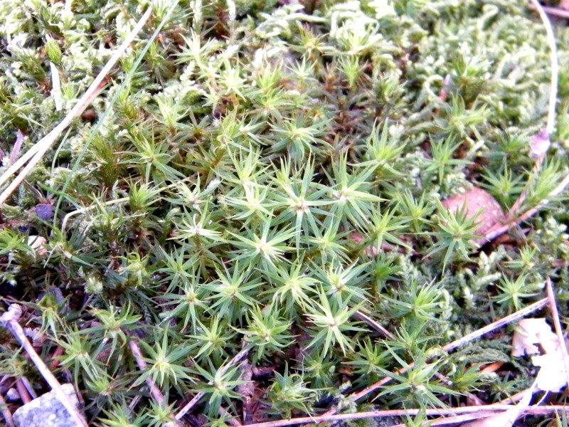 Polytrichum sp., Polypodium vulgare, Hedera helix [identifications] 15_jan11