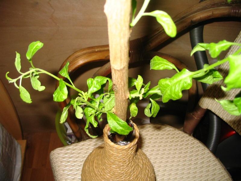 Solanum rantonnetii Solanu10