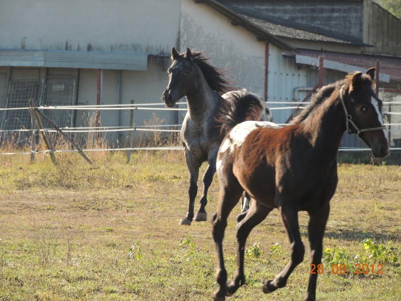 Mes chevaux, un mélange d'un peu tout le monde! Campbe33