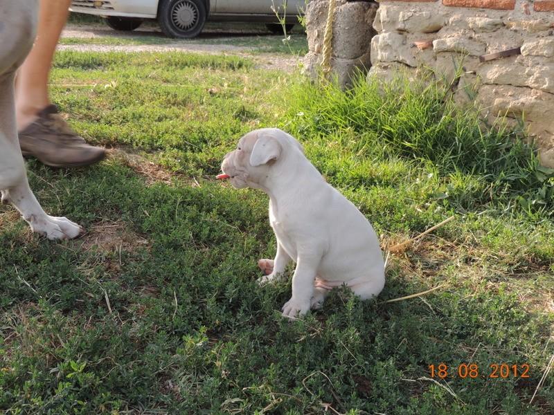 Les dogues Argentin Ti_lou13