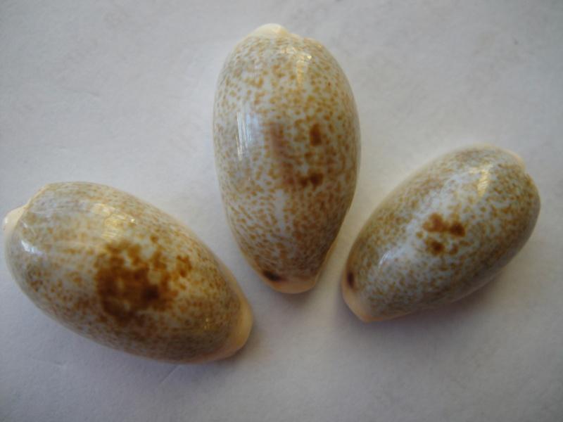 Erronea errones - (Linnaeus, 1758) 00910