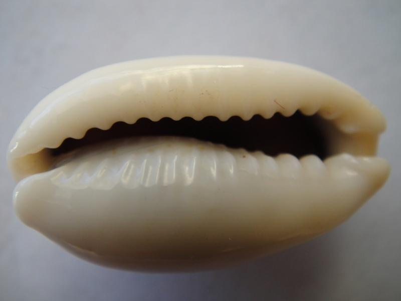 Erronea errones - (Linnaeus, 1758) 01310