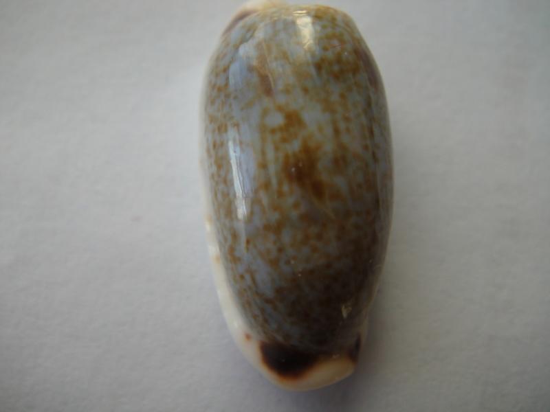 Erronea cylindrica cylindrica - (Born, 1778) 03310