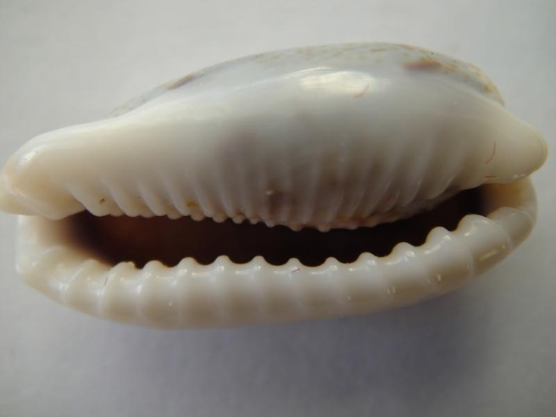 Erronea cylindrica cylindrica - (Born, 1778) 03410