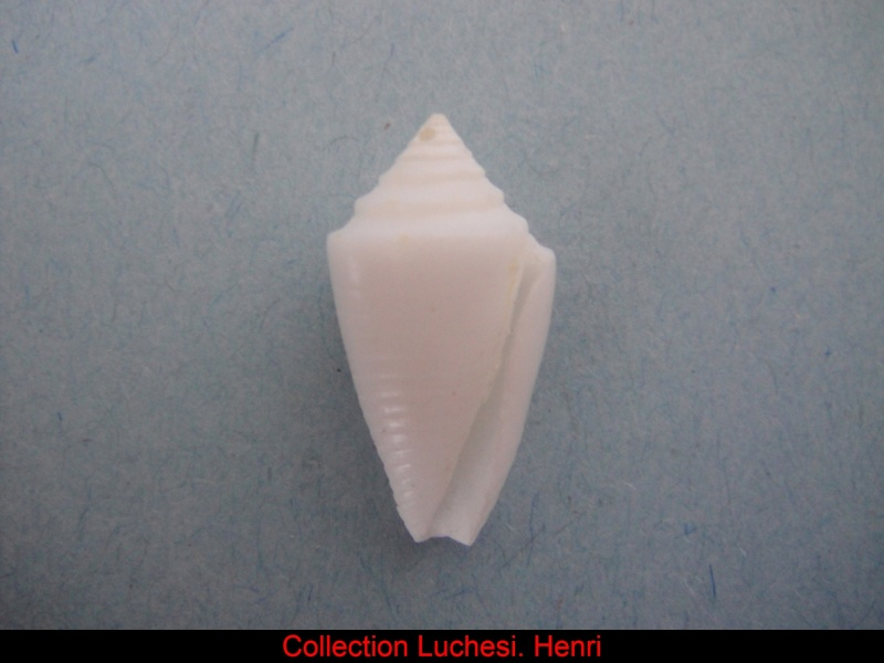 Conasprella (Ximeniconus) mindana bermudensis (Clench, 1942) Conus_33