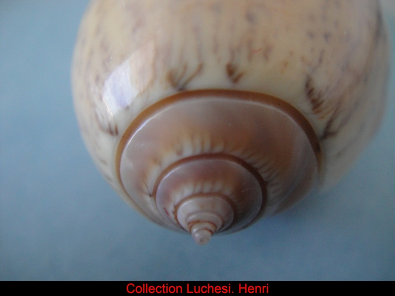 Americoliva incrassata burchorum (Zeigler, 1969) - Worms = Americoliva incrassata (Lightfoot in Solander, 1786) Oliva_24