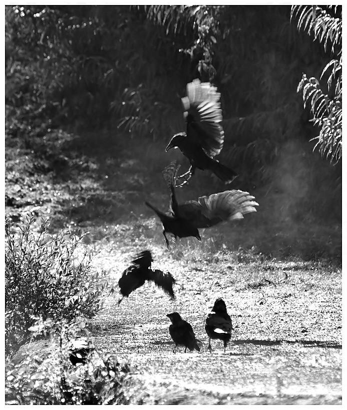 Ebats de corbeaux Corbea13