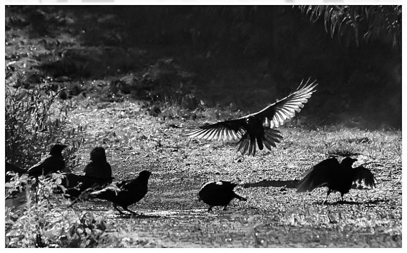 Ebats de corbeaux Corbea14