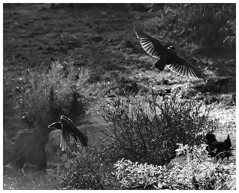 Ebats de corbeaux Corbea15