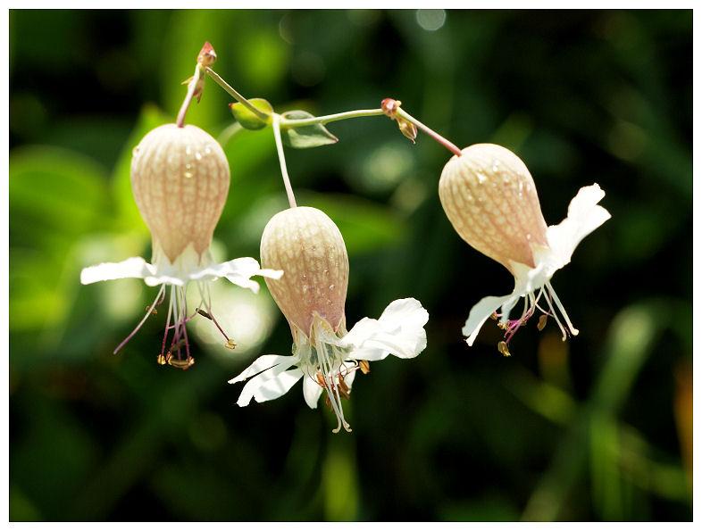 Silène enflé Fleurs10