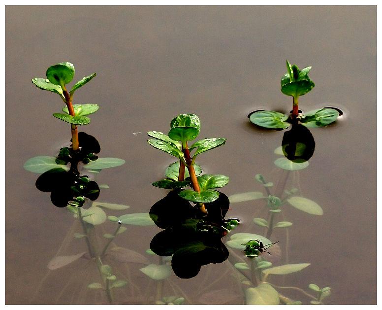 Plantules Plantu10