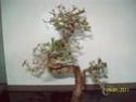taille de strucuture orme de chine Devant10
