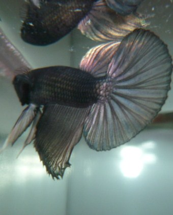 help mon poisson est amorphe!!!!!! Blak_214