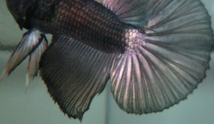 help mon poisson est amorphe!!!!!! Blak_216