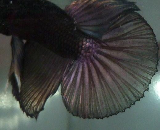 help mon poisson est amorphe!!!!!! Blak_217