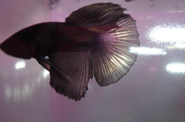 help mon poisson est amorphe!!!!!! Blak_c10