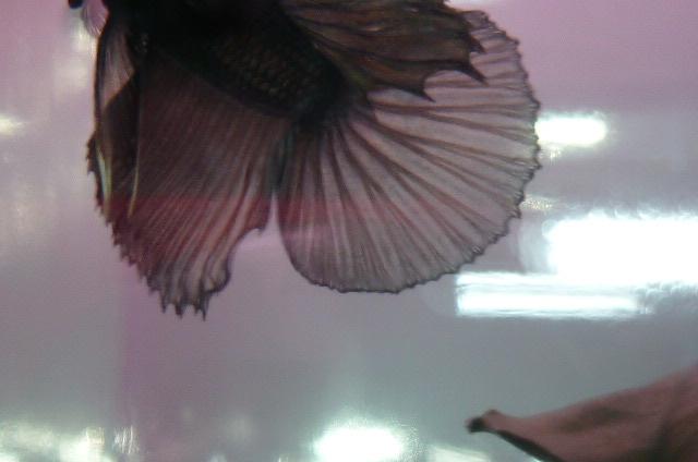 help mon poisson est amorphe!!!!!! Blak_c11
