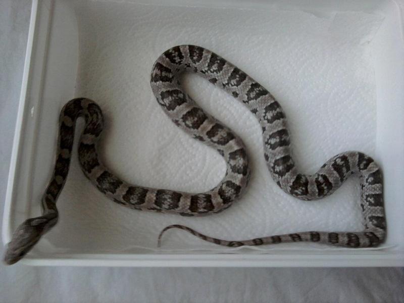 autres reptiles addams family 54035710