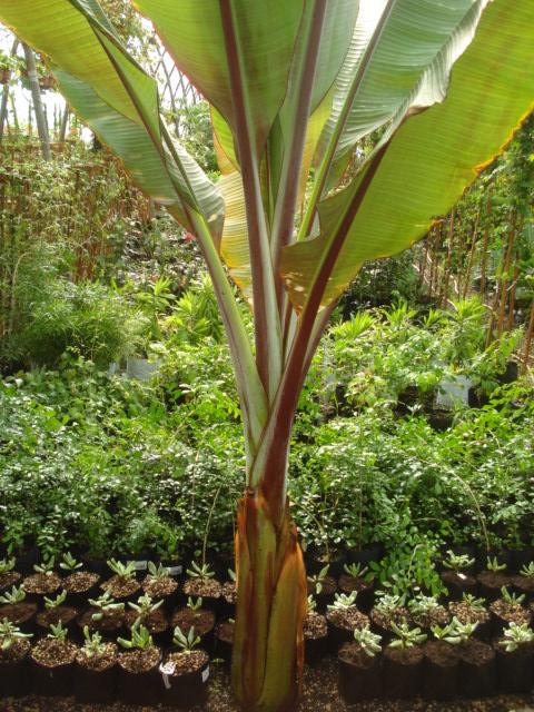 Bananiers et palmiers à identifier SVP Banane10