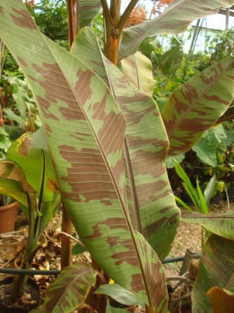 Bananiers et palmiers à identifier SVP Banane12