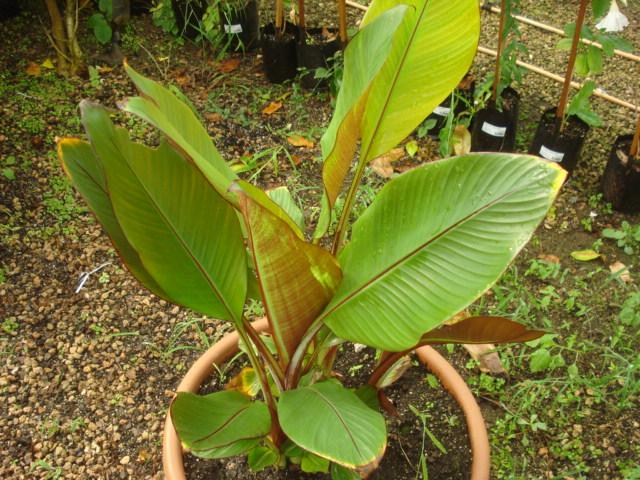 Bananiers et palmiers à identifier SVP Banane13