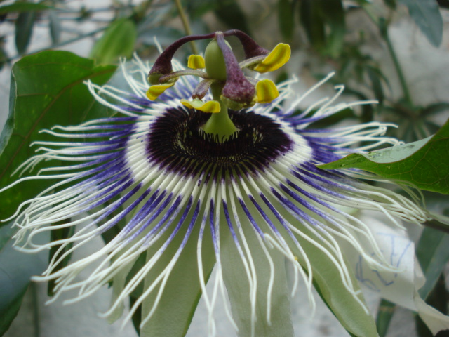 "Notre collection ""passiflora"" - Page 9 Edulis10"