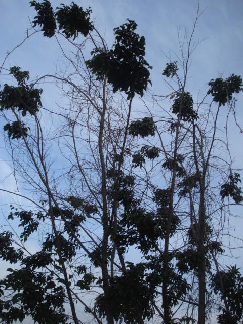 Même coupée,les plantes s accrochent à la vie Ficus_11
