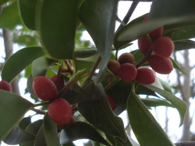 Même coupée,les plantes s accrochent à la vie Ficus_12
