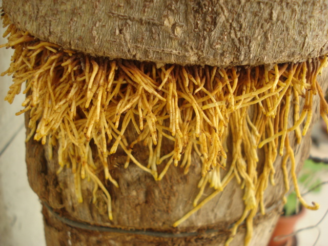 Même coupée,les plantes s accrochent à la vie Ficus_13