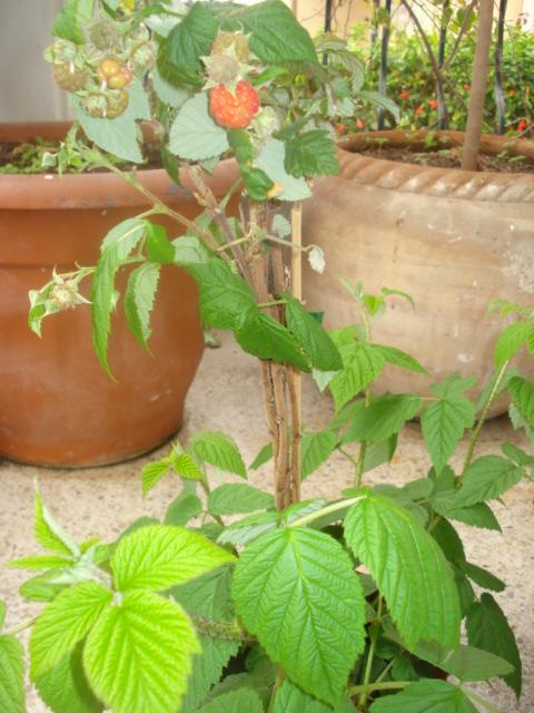 Fruits hors saison Frambo10