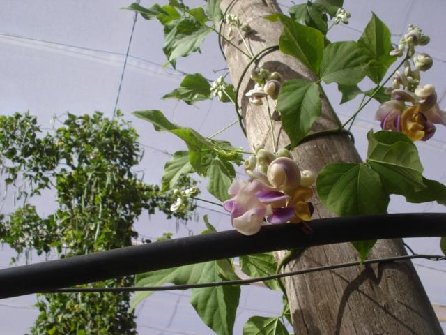 Bananiers et palmiers à identifier SVP Grimpa10